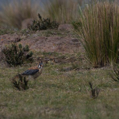 Falco, Oiseau, sparverius-2
