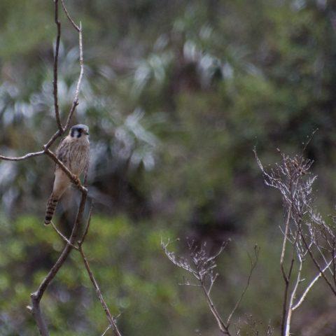 Falco, Oiseau, sparverius-3