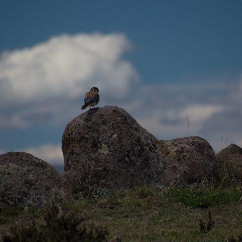 Falco, Oiseau, sparverius
