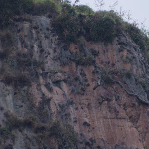 Geranoaetus, melanoleucus, Oiseau-3
