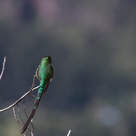 Lesbia, nuna, Oiseau-10