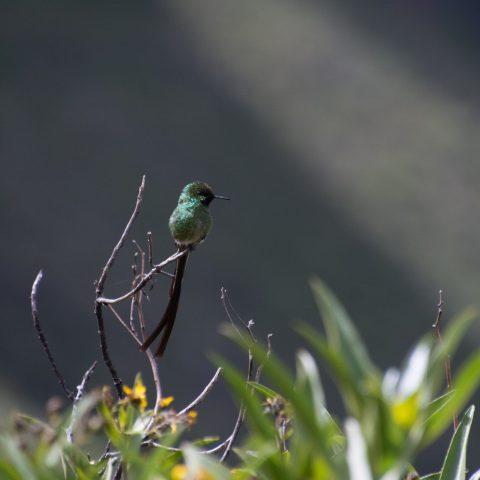 Lesbia, nuna, Oiseau-5