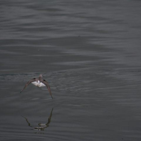 Oiseau, Phalaropus, tricolor-10