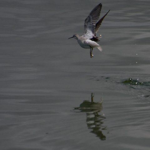 Oiseau, Phalaropus, tricolor-13
