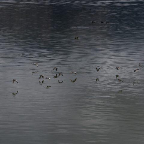 Oiseau, Phalaropus, tricolor-14