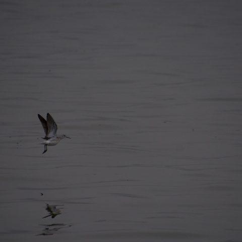 Oiseau, Phalaropus, tricolor-3
