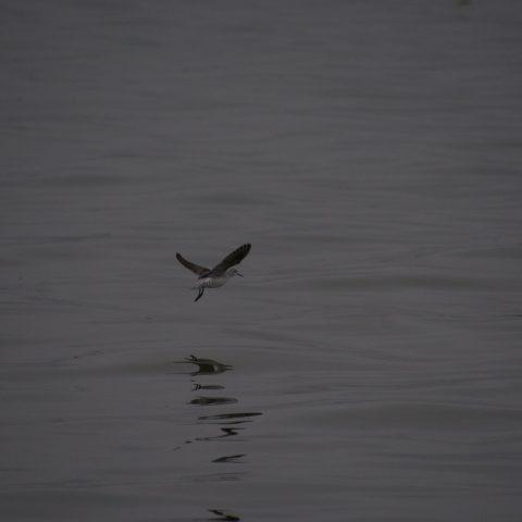 Oiseau, Phalaropus, tricolor-4