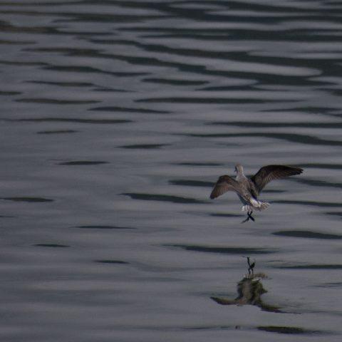 Oiseau, Phalaropus, tricolor-7
