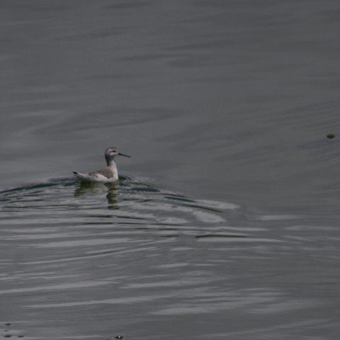 Oiseau, Phalaropus, tricolor-8