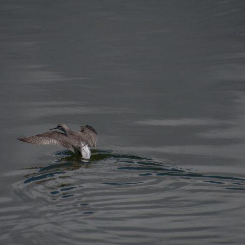 Oiseau, Phalaropus, tricolor-9
