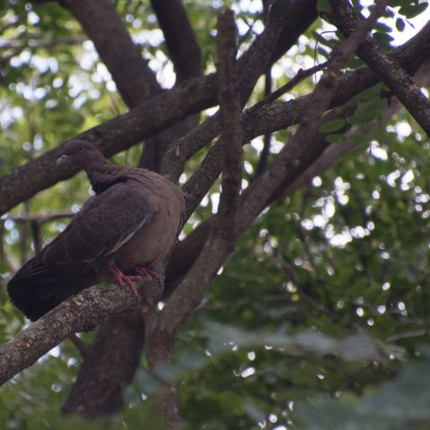 Pigeon picazuro-2