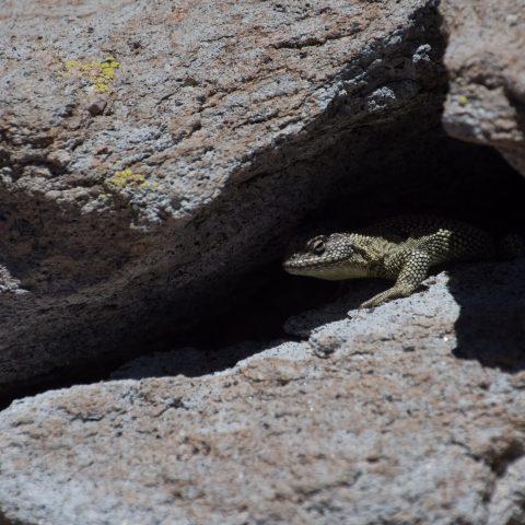 Reptile spA-3