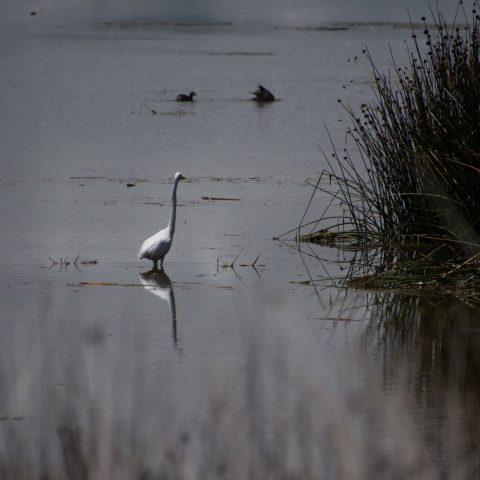alba, Egretta, Oiseau-2