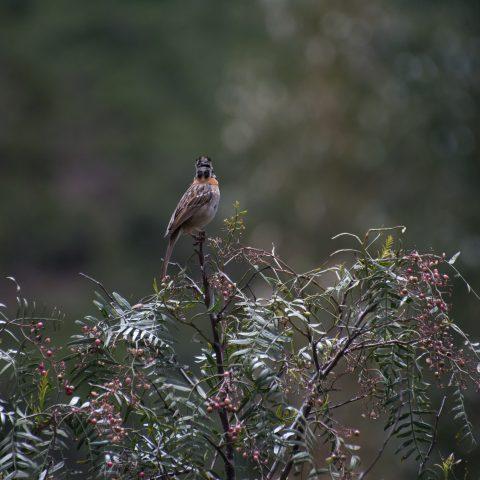 capensis, Oiseau, Zonotrichia-10