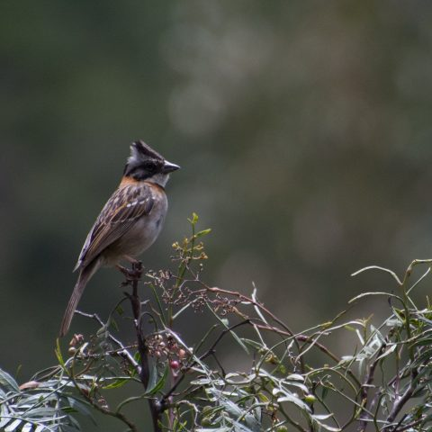 capensis, Oiseau, Zonotrichia-11