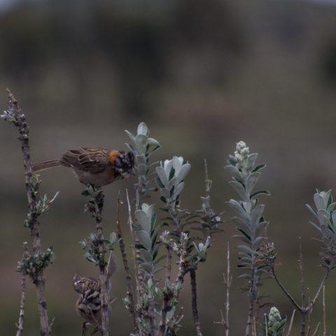 capensis, Oiseau, Zonotrichia-2