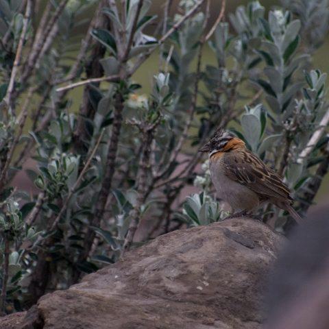 capensis, Oiseau, Zonotrichia-3