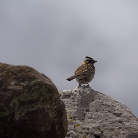capensis, Oiseau, Zonotrichia-4