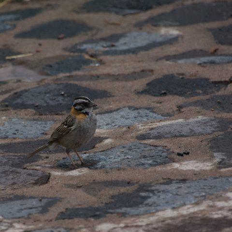 capensis, Oiseau, Zonotrichia
