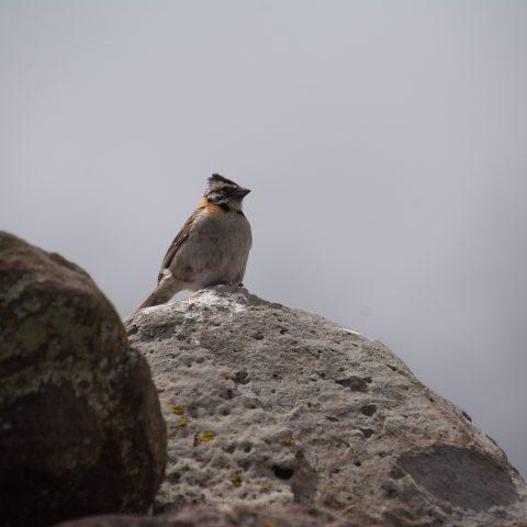 capensis, Oiseau, Zonotrichia-6