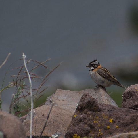 capensis, Oiseau, Zonotrichia-8