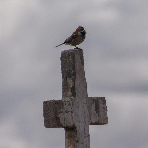 capensis, Oiseau, Zonotrichia-9