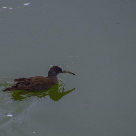 falcinellus, Oiseau, Plegadis