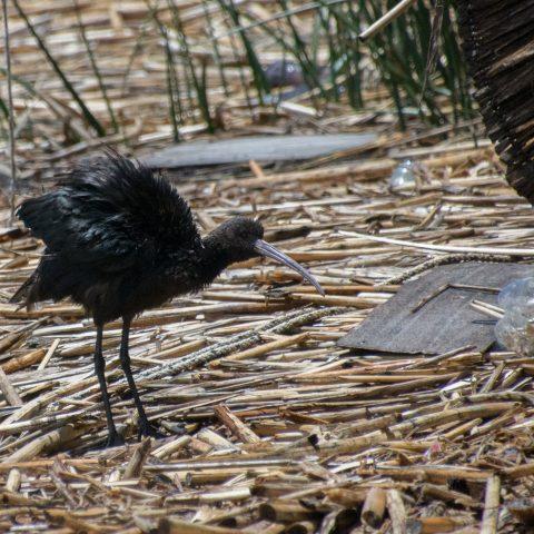 falcinellus, Oiseau, Plegadis-5