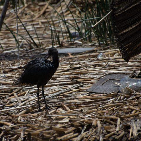 falcinellus, Oiseau, Plegadis-6