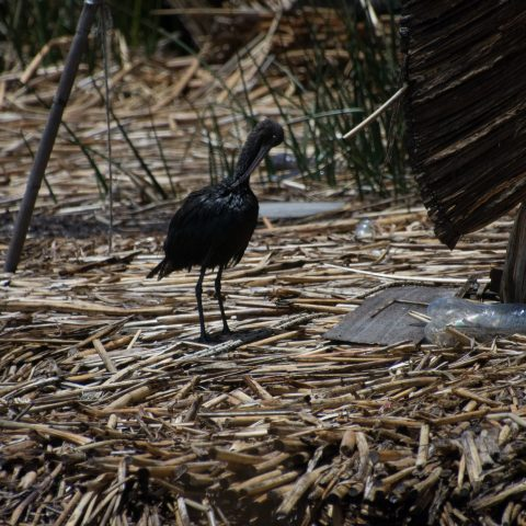 falcinellus, Oiseau, Plegadis-7