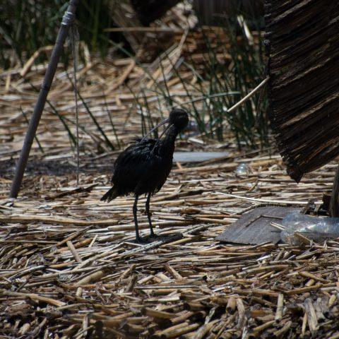 falcinellus, Oiseau, Plegadis-8