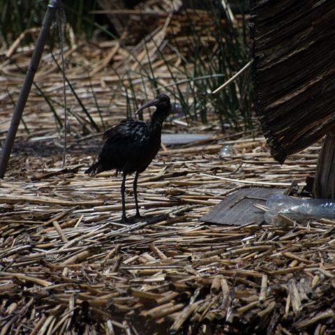 falcinellus, Oiseau, Plegadis-9