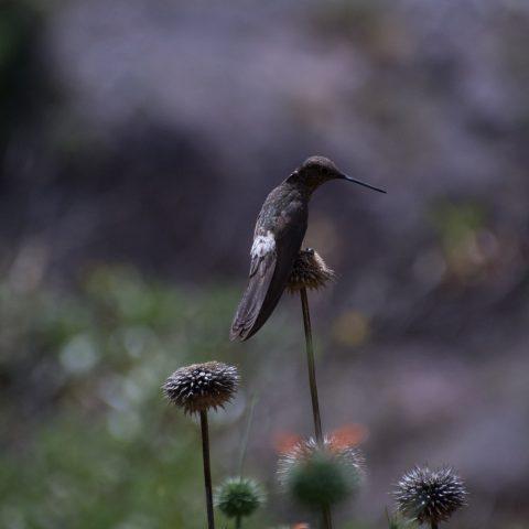 gigas, Oiseau, Patagonas-2