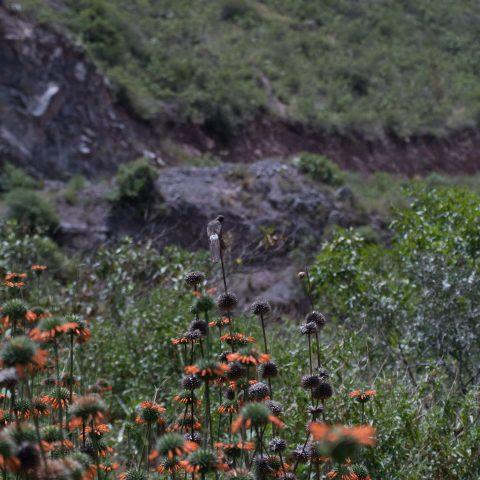 gigas, Oiseau, Patagonas-3