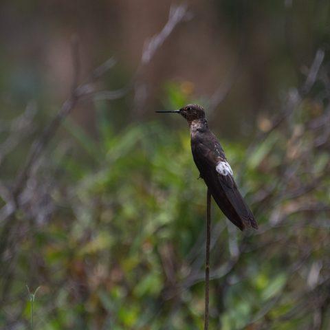 gigas, Oiseau, Patagonas-4