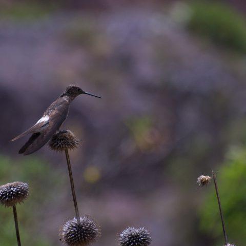 gigas, Oiseau, Patagonas