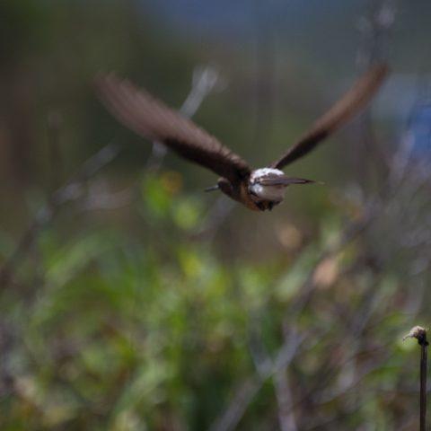 gigas, Oiseau, Patagonas-5