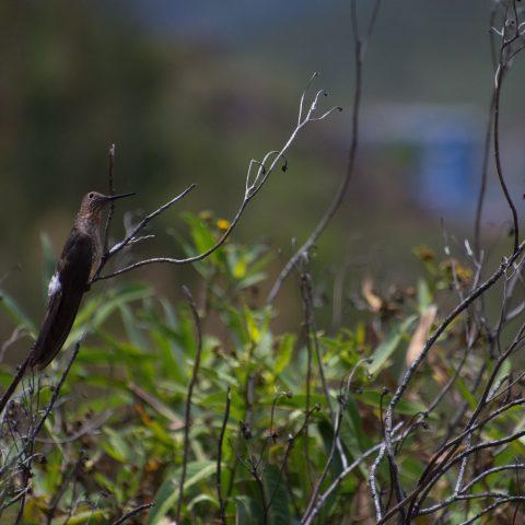 gigas, Oiseau, Patagonas-6