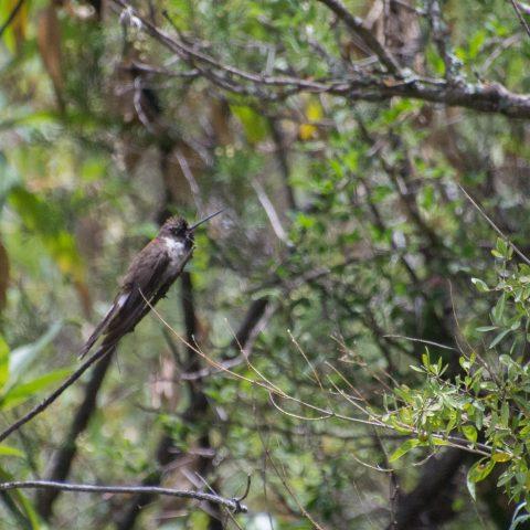 nobilis, Oiseau, Oreonympha-2