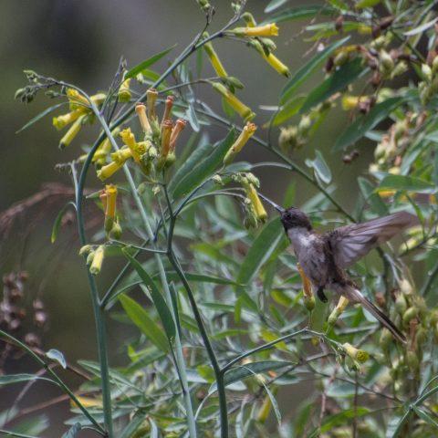 nobilis, Oiseau, Oreonympha-3