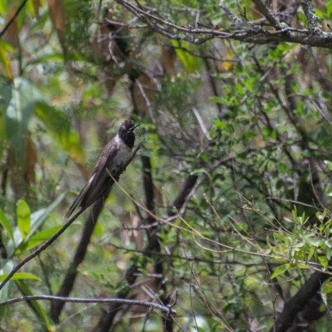 nobilis, Oiseau, Oreonympha