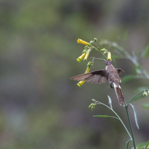 nobilis, Oiseau, Oreonympha-5