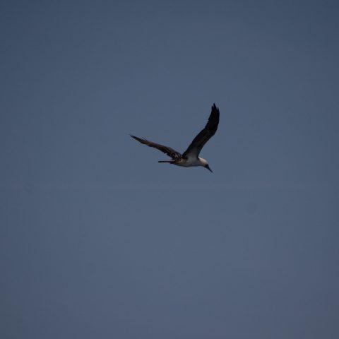 Oiseau, Sula, variegata-10