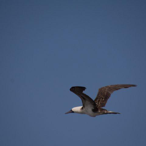 Oiseau, Sula, variegata-12