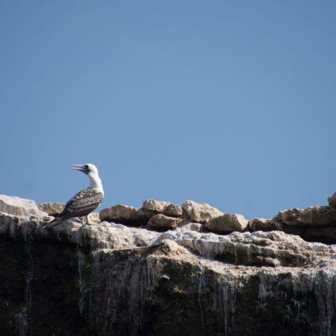 Oiseau, Sula, variegata-14