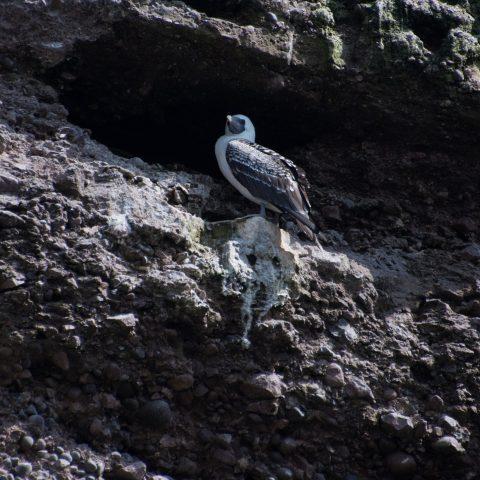 Oiseau, Sula, variegata-17