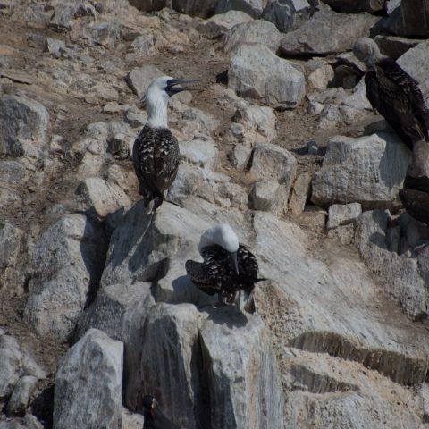 Oiseau, Sula, variegata-19