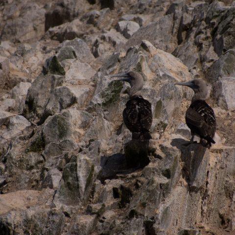 Oiseau, Sula, variegata-20