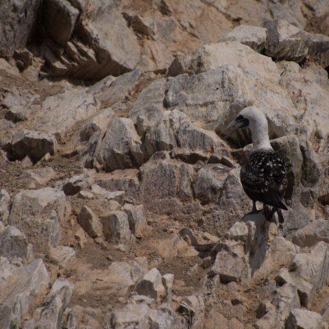Oiseau, Sula, variegata-21