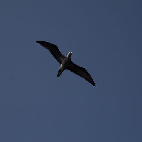 Oiseau, Sula, variegata-22